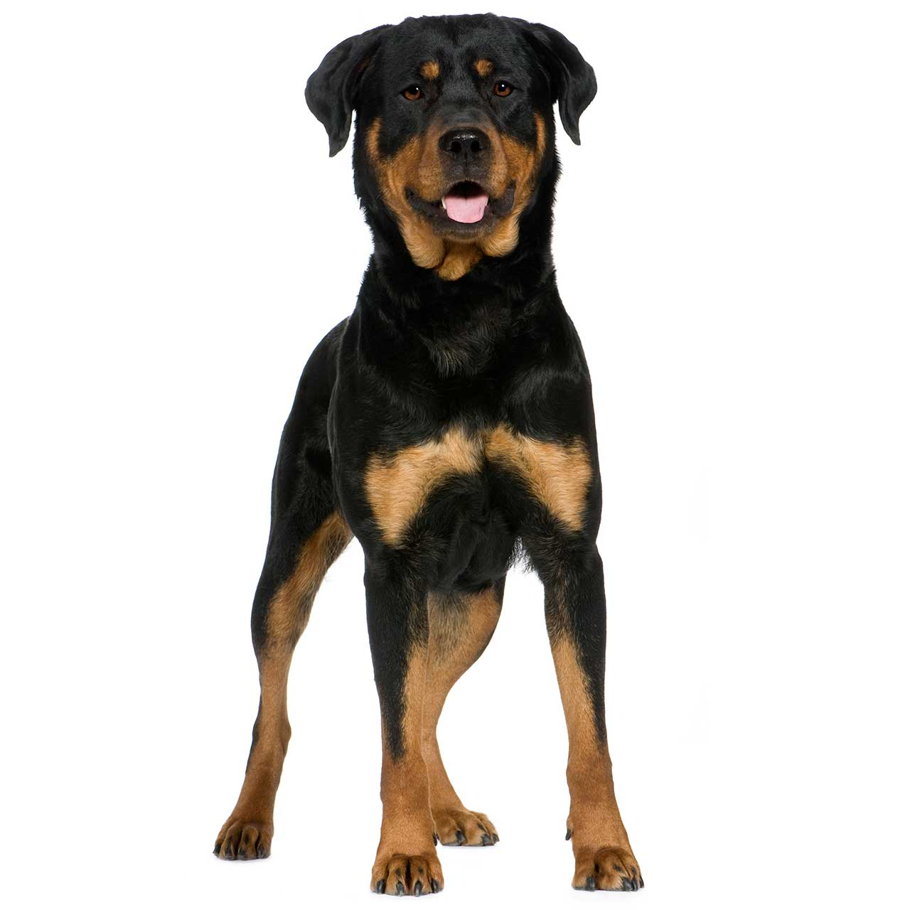 Standard Couch Length Rottweiler Dog Breed 187 Information Pictures Amp More