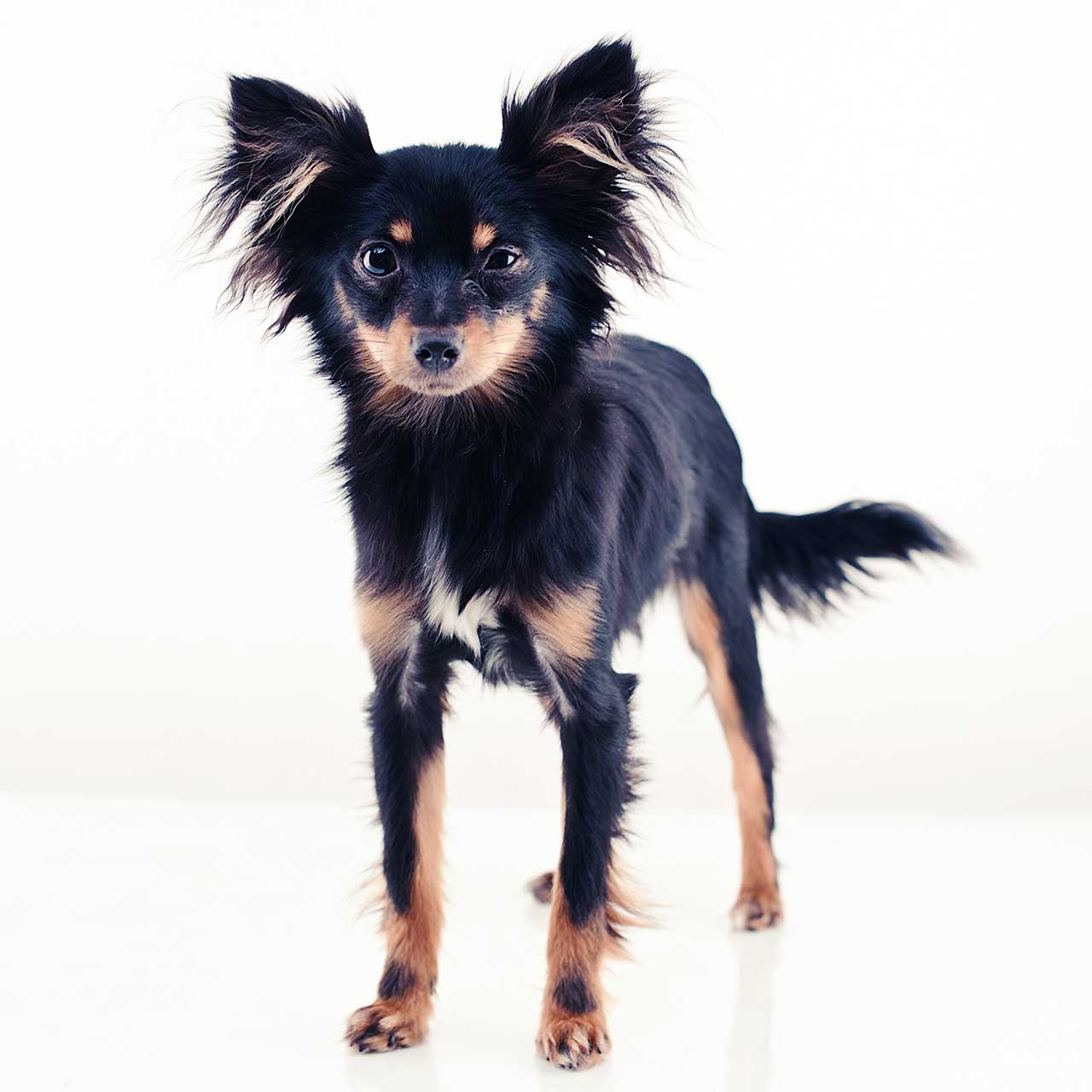 Toy Dog Breeds : Russkiy toy dog breed everything about