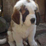 Saint Berdoodle - Saint Bernard Poodle