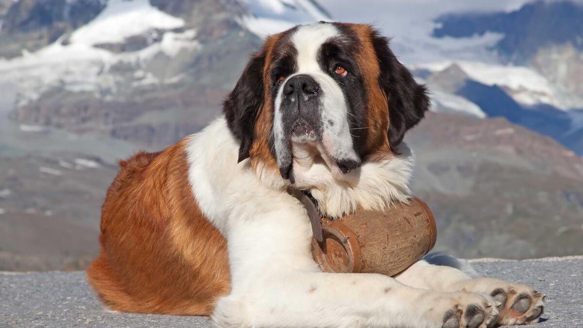 Saint Bernard Dog Breed » Information