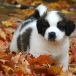 White & Brown Saint Bernard Puppy