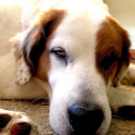 Saint Dane (Saint Bernard Great Dane Mix)