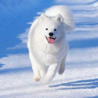 White Samoyed Running in Snow