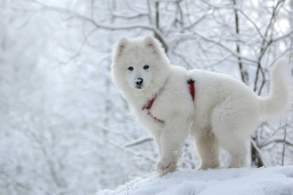 White Samoyed Puppy in the Snow