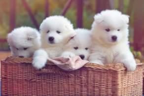 White Samoyed Puppies