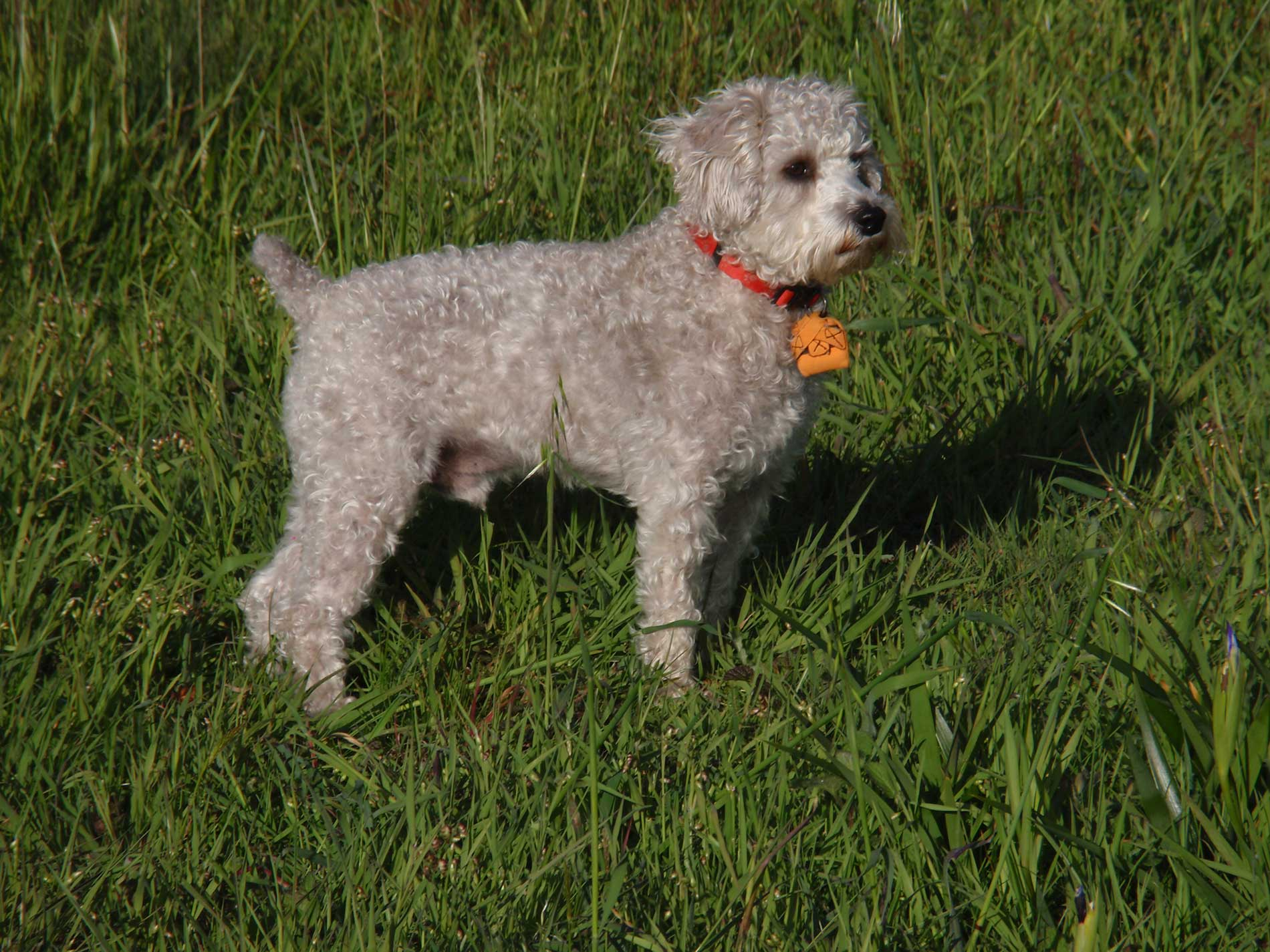 Schnoodle Dog Breed » Everything About Schnoodles