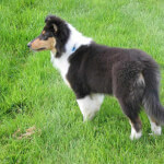 White & Black Scotch Collie