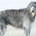 Gray Scottish Deerhound