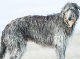 Gray Scottish Deerhound