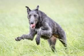 Gray Brindle Scottish Deerhound Running through Grass