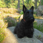 Black Scottish Terrier