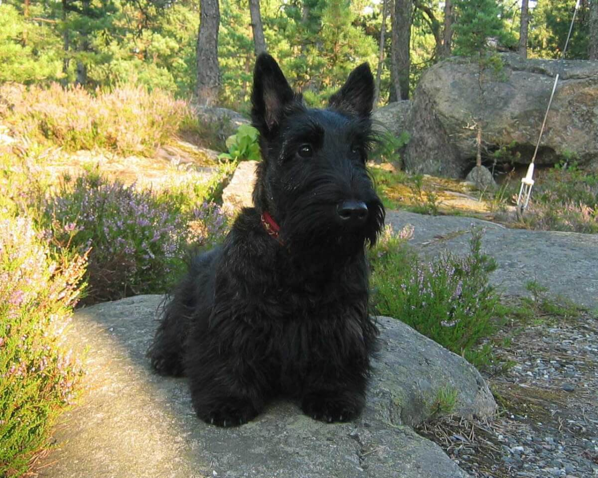 Scottish Terrier Dog Breed Information Pictures More