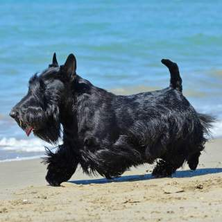 Scottish Terrier Playing on a Beach