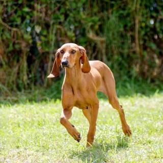 Segugio Italiano Walking in the Grass