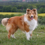Sable and White Shetland Sheepdog