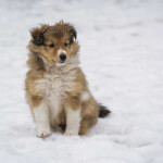 Sable & White Shetland Sheepdog Puppy