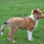Sable and White Shetland Sheepdog Puppy