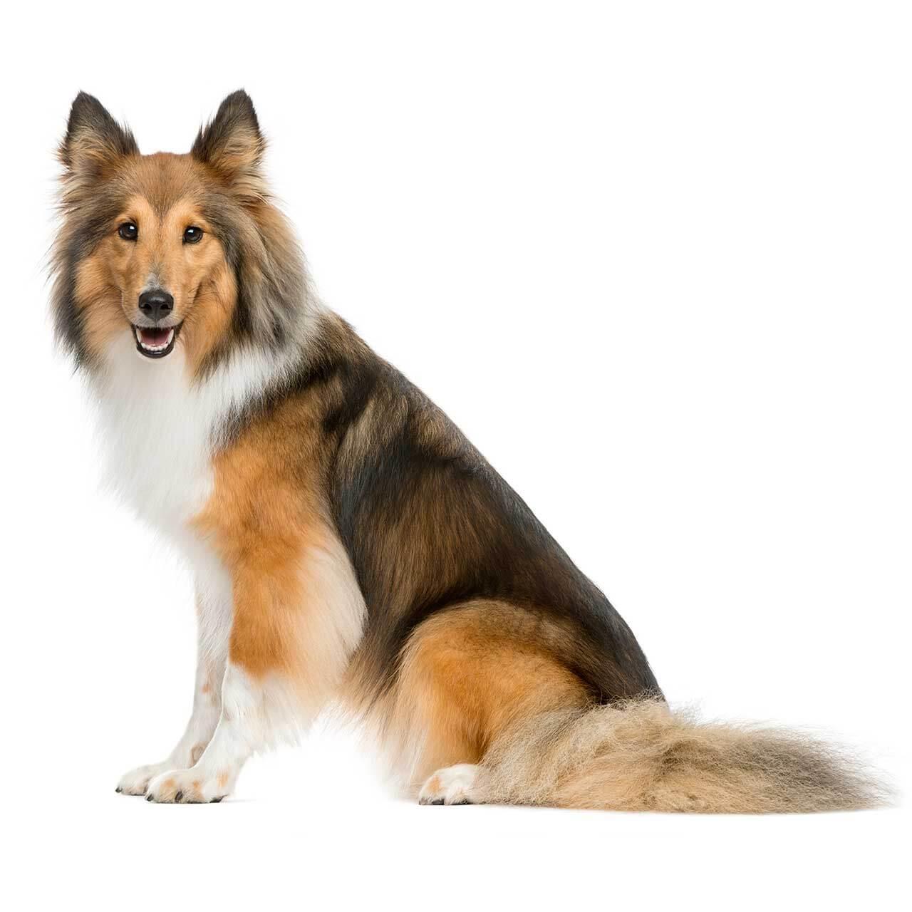 sheltie dog breed everything about shelties