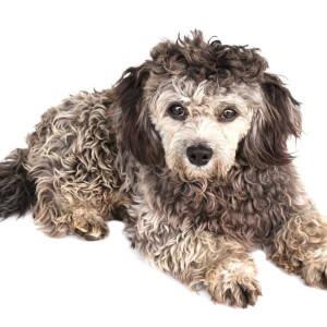 Shih Poo (Poodle Shih-Tzu)