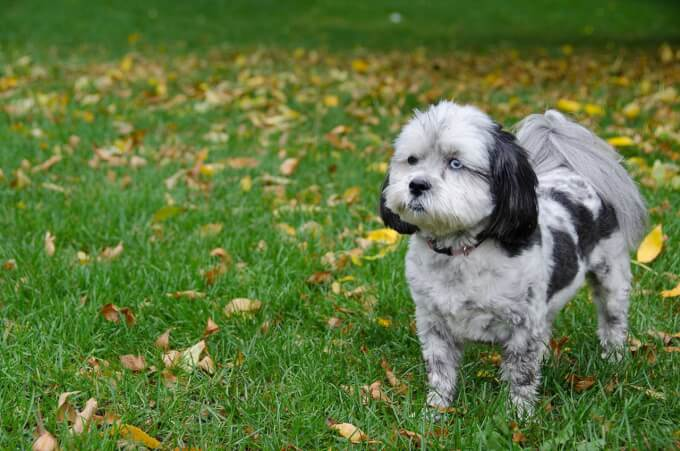 Shih Poo Dog Breed 187 Everything About Shih Poos