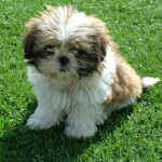 Gold & White Shih Tzu
