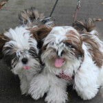 Red & White Shih Tzu