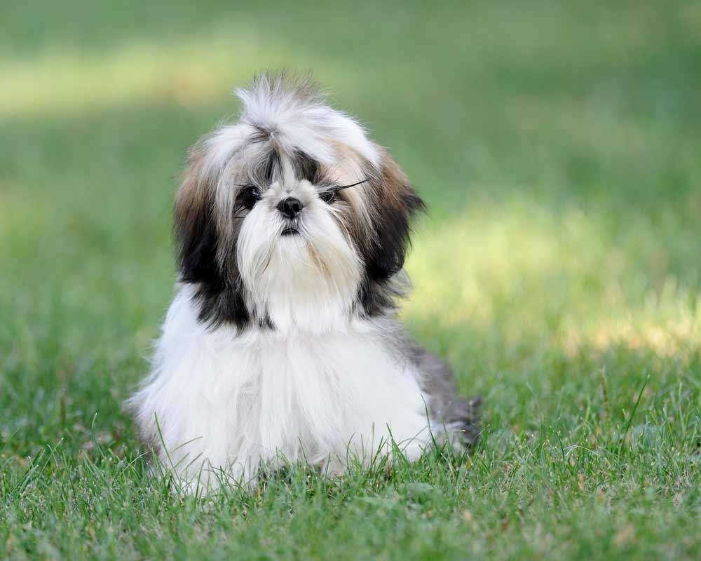 Shih Tzu Dog Breed Information Pictures More