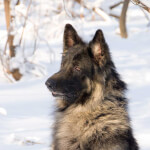 Black & Cream Shiloh Shepherd
