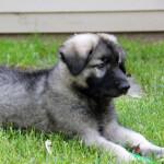 Black & Silver Shiloh Shepherd Puppy