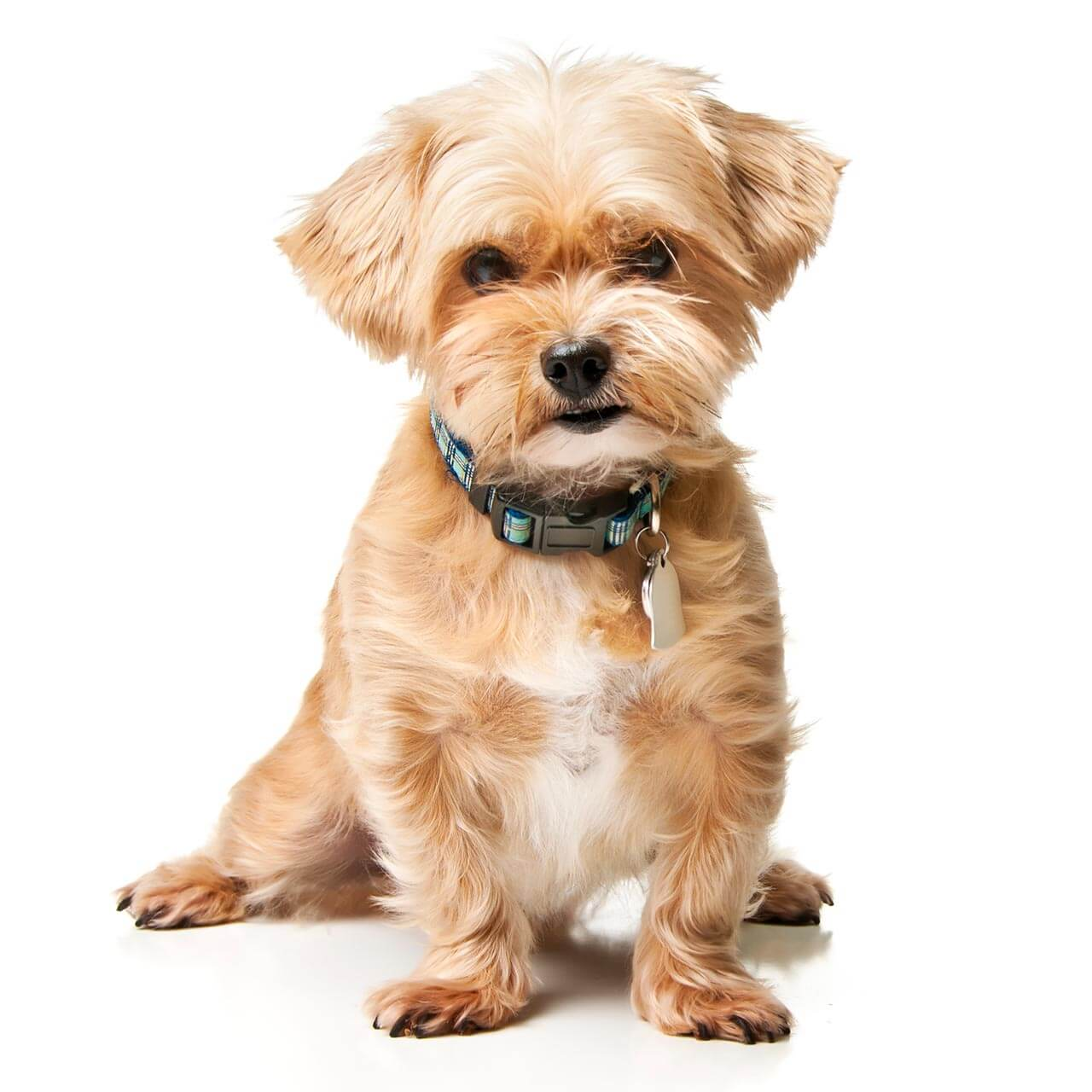 Shorkie Tzu Dog Breed 187 Everything About Shorkie Tuzs