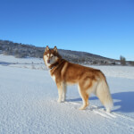Red & White Siberian Husky
