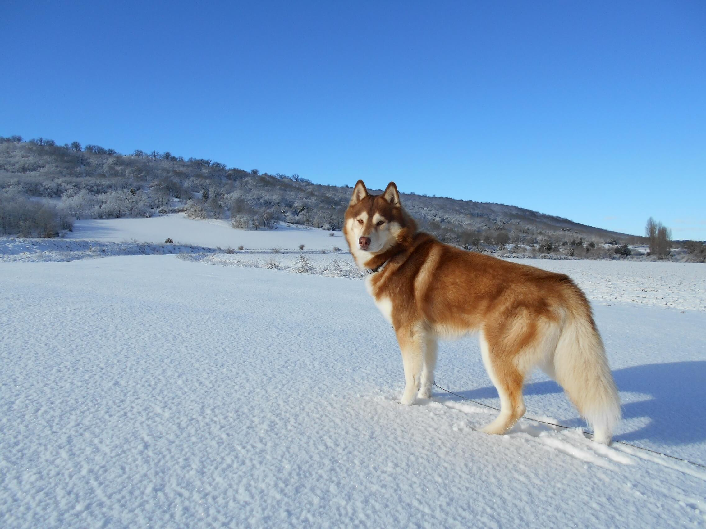 Siberian Husky Dog Breed Information Pictures More