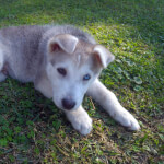 Gray and White Siberian Husky Puppy