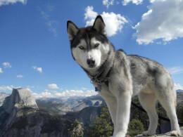 Gray & White Siberian Husky