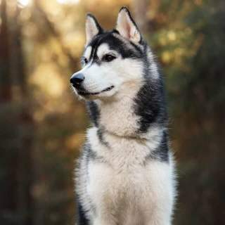 Siberian Husky in the Woods
