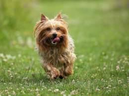 Running Silky Terrier
