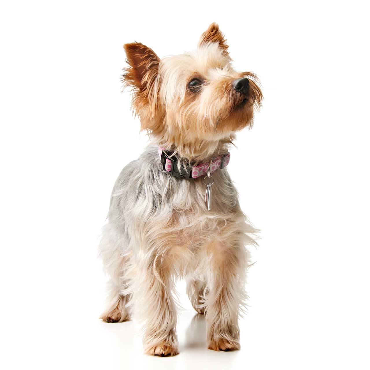 Silky Terrier Dog Breed Everything About Silky Terrier