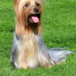 Platinum Silky Terrier