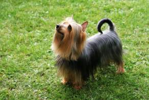 Black Silky Terrier