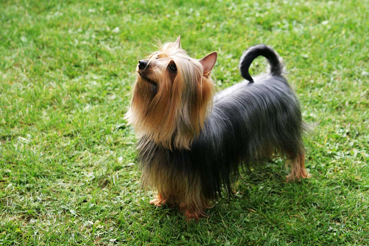 Silky Terrier Dog Breed » Everything About Silky Terrier