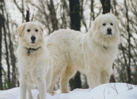 Two Slovak Cuvac Dogs in the Snow