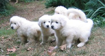Slovak Cuvac Puppies