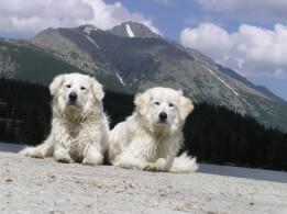 Two Slovak Cuvac Dogs