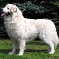 Slovak Cuvac Dog Breed