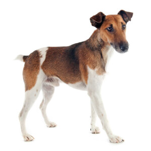 Brown Smooth Fox Terrier