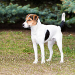 Tri-Color Smooth Fox Terrier
