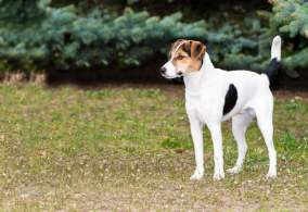 Tri-Color Smooth Fox Terrier