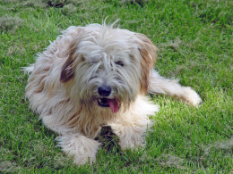 Wheaten Soft Coated Wheaten Terrier