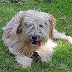 Wheaten Soft Coated Wheaten Terrier
