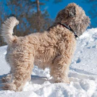 Soft Coated Wheaten Terrier in the Snow